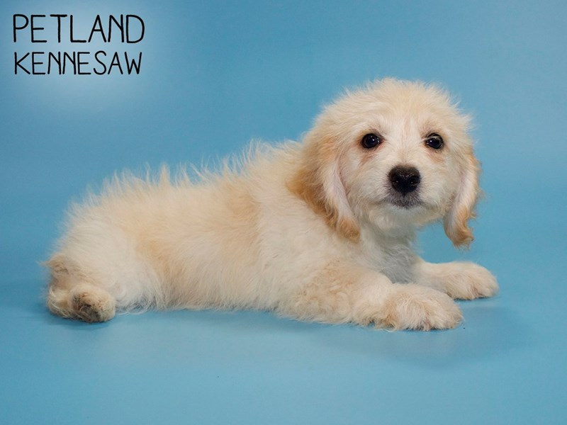 Pomapoo-Male-Cream-2782287-Petland Kennesaw