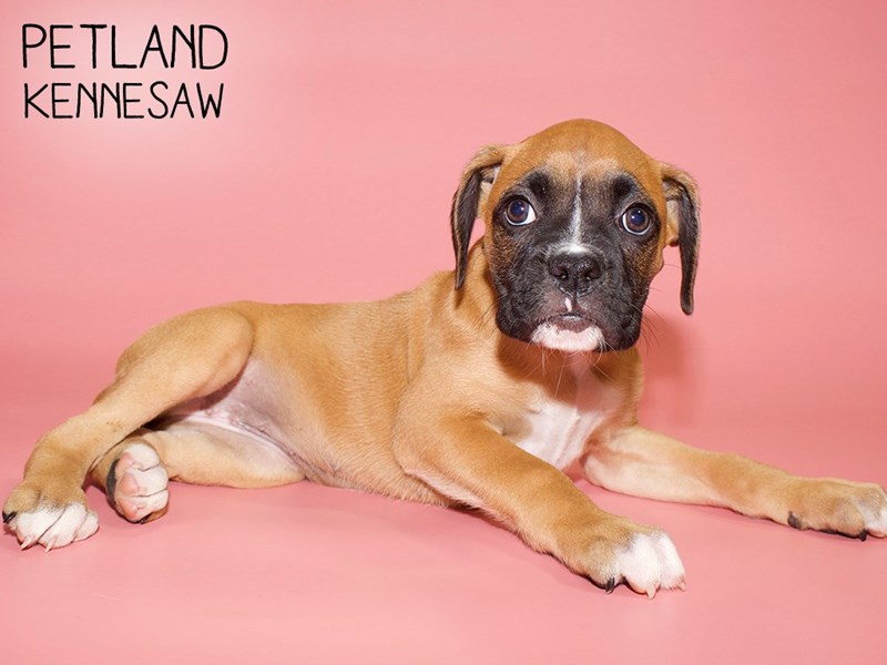 Boxer-Female-Fawn with Black Mask-2782000-Petland Kennesaw