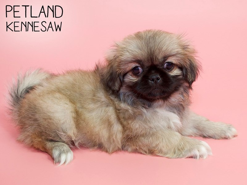 Pekingese-Female-Cream Sable-2805577-Petland Kennesaw