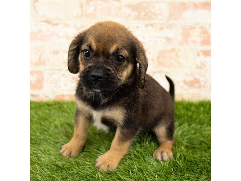 Puggle-Female-Black / Tan-2821217-Petland Kennesaw