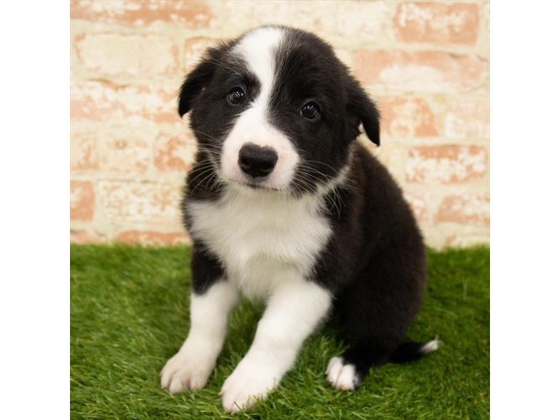 Border Collie-Male-Black / White-2835741-Petland Kennesaw
