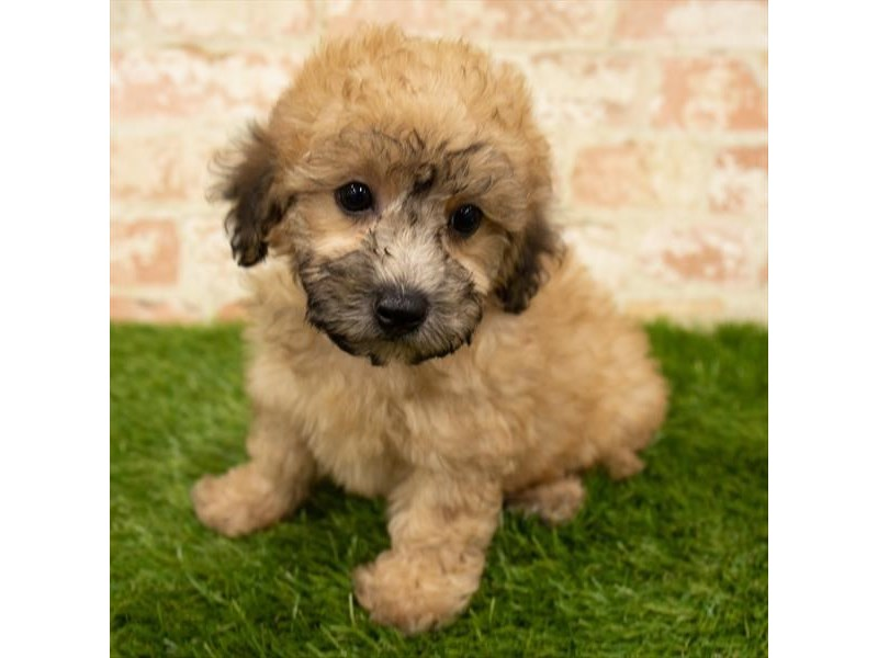 Poodle-Male-Apricot-2835751-Petland Kennesaw