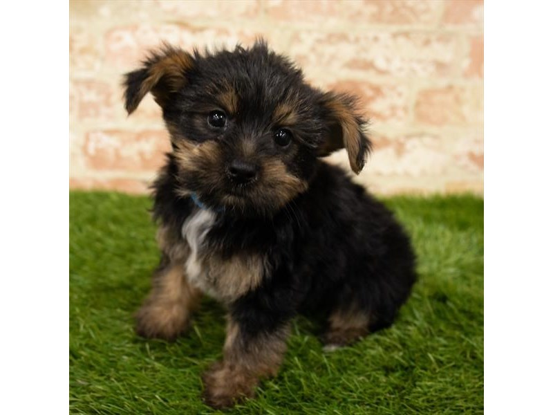 Yorkshire Terrier-DOG-Male-Black / Tan-2835755-Petland Kennesaw
