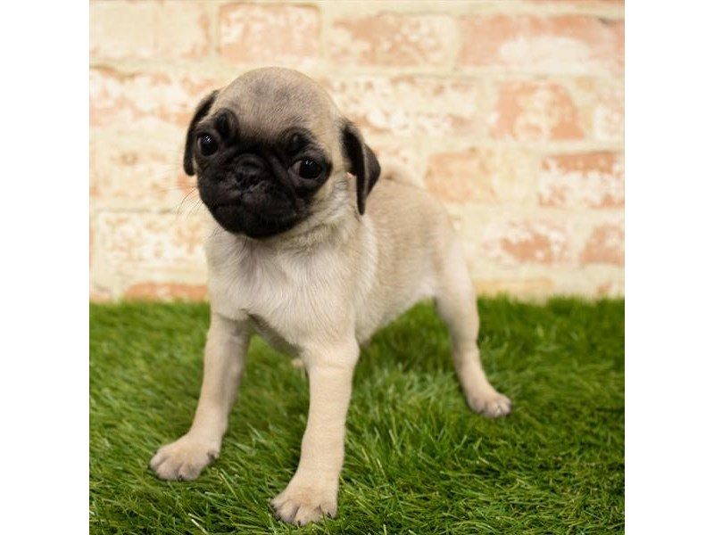 Pug-DOG-Female-Fawn-2835757-Petland Kennesaw