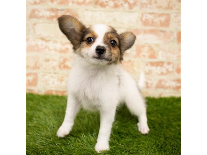 Papillon-Female-White / Sable-2835763-Petland Kennesaw