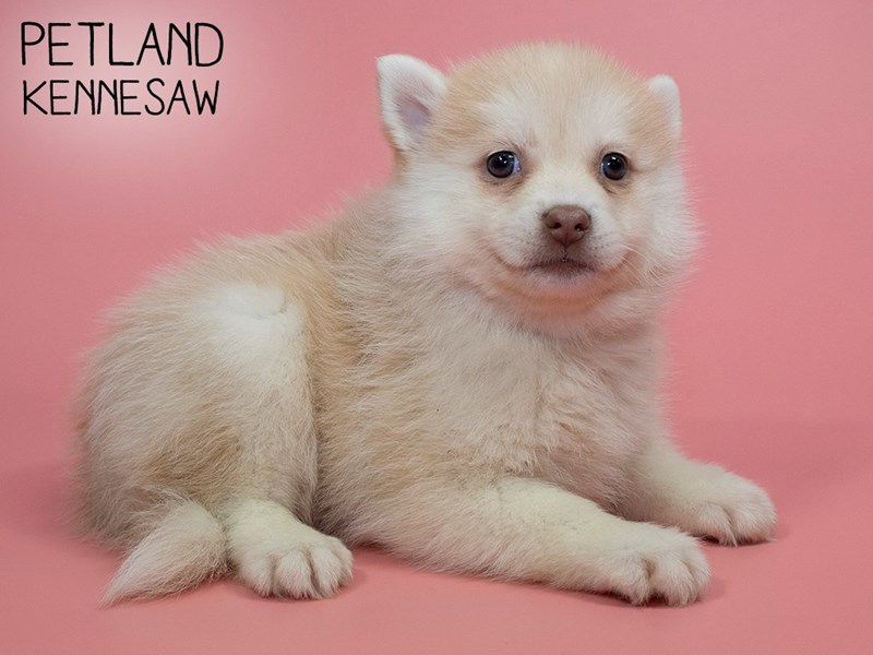Pomsky-Female-RED WH-2838949-Petland Kennesaw