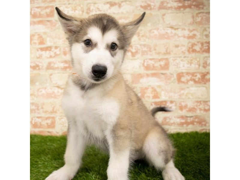 Alaskan Malamute-Female-Sable / White-2835747-Petland Kennesaw