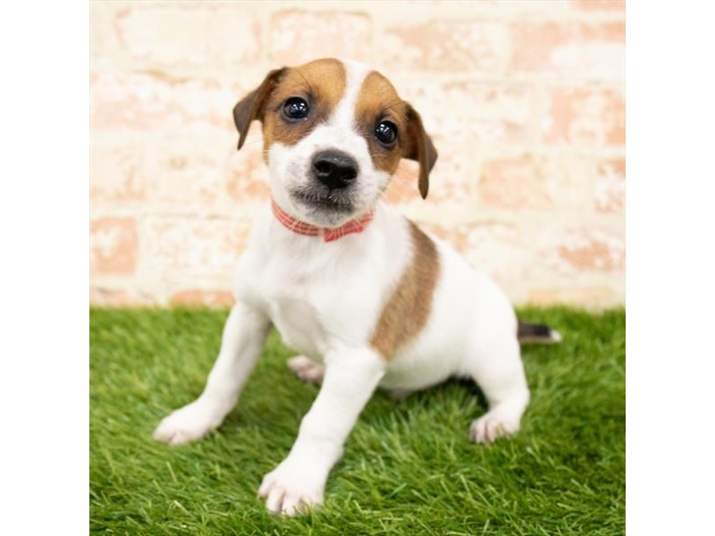 Jack Russell Terrier-Male-White-2850654-Petland Kennesaw