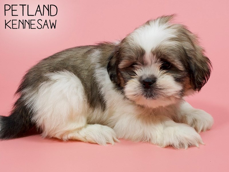 Shih Tzu-DOG-Female-BRN WH-2846651-Petland Kennesaw