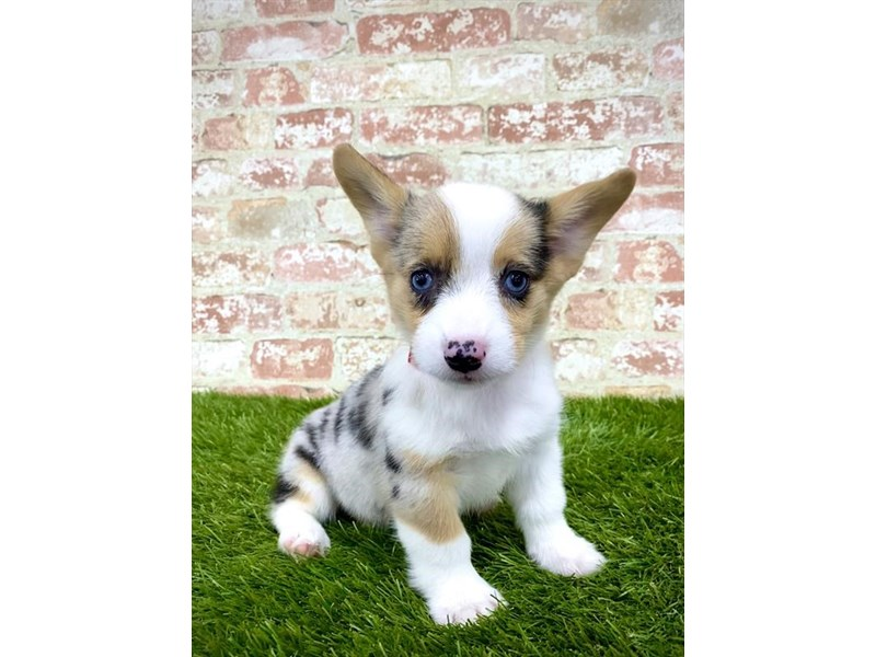 Pembroke Welsh Corgi-Female-Blue Merle-2858161-Petland Kennesaw