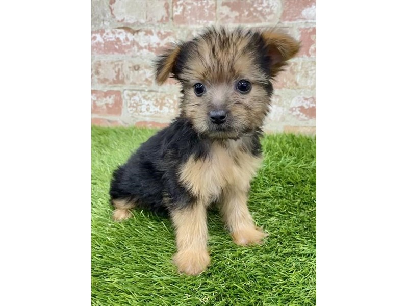 Yorkshire Terrier-DOG-Female-Black / Tan-2858168-Petland Kennesaw
