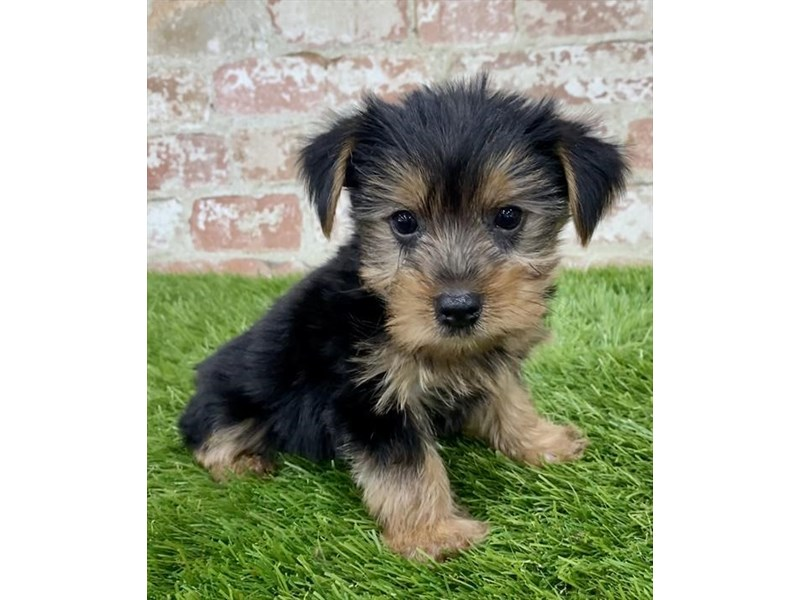 Yorkshire Terrier-DOG-Female-Black / Tan-2858173-Petland Kennesaw