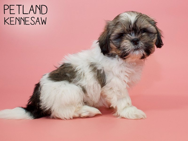 Shih Tzu-Female-BROWN WH-2868585-Petland Kennesaw