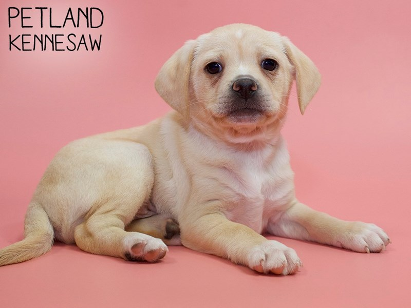 Puggle-DOG-Female-Fawn-2879830-Petland Kennesaw