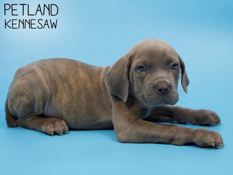 Cane Corso-Male-Blue Brindle-2886031-Petland Kennesaw