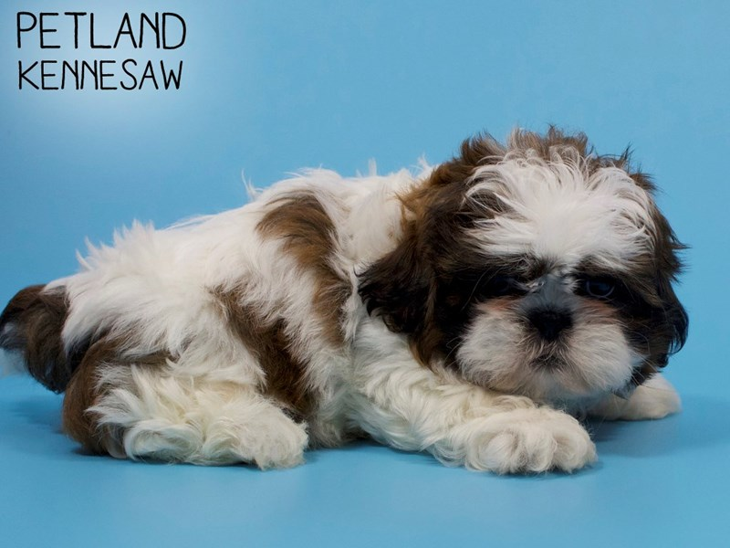 Shih Tzu-Male-brown white-2882534-Petland Kennesaw