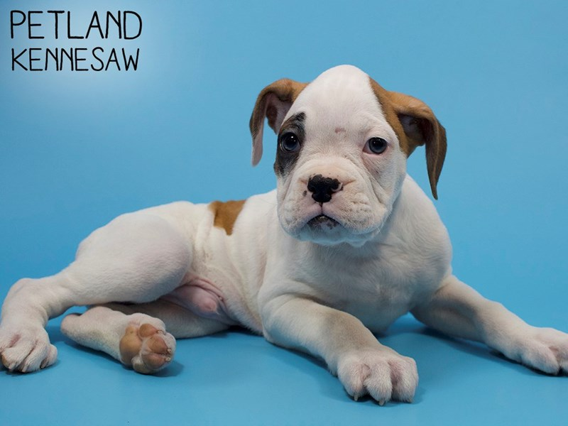 Boxer-Male-White With Spot-2882628-Petland Kennesaw
