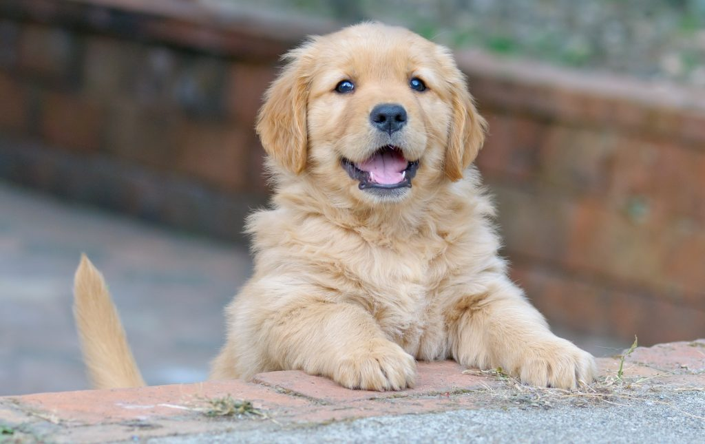 love puppies, Oh-So-Cuuuute! American Pet Culture and Why We Love Puppies