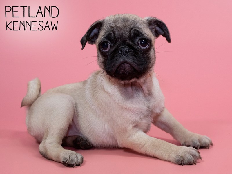 Pug-Female-FAWN-2833253-Petland Kennesaw