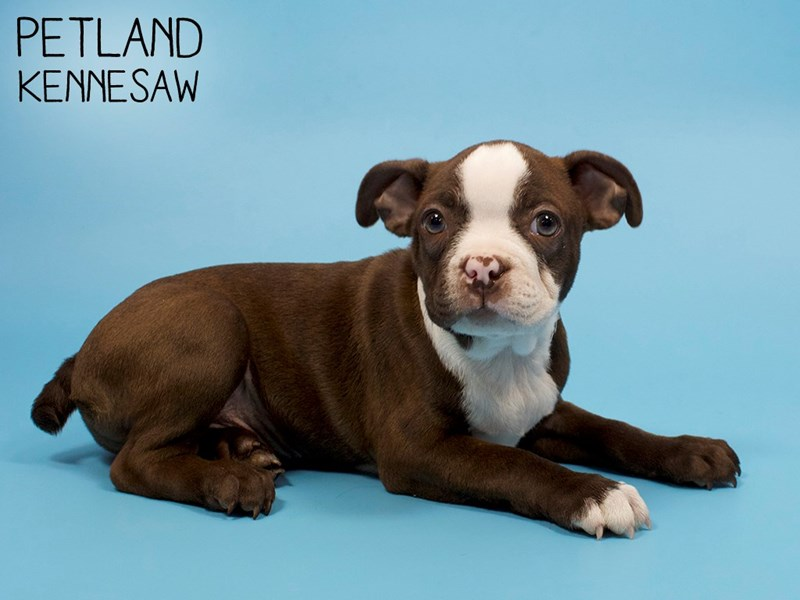 Boston Terrier-Male-Seal / White-2850652-Petland Kennesaw