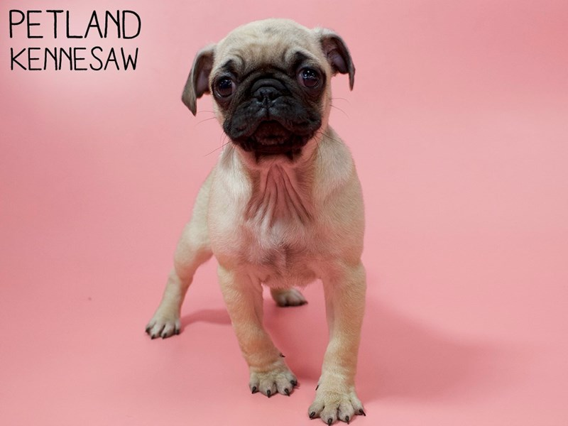 Pug-Female-FAWN-2861404-Petland Kennesaw
