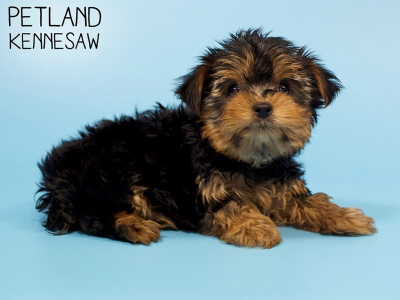 Yorkshire Terrier-Male-Black / Tan-2886022-Petland Kennesaw