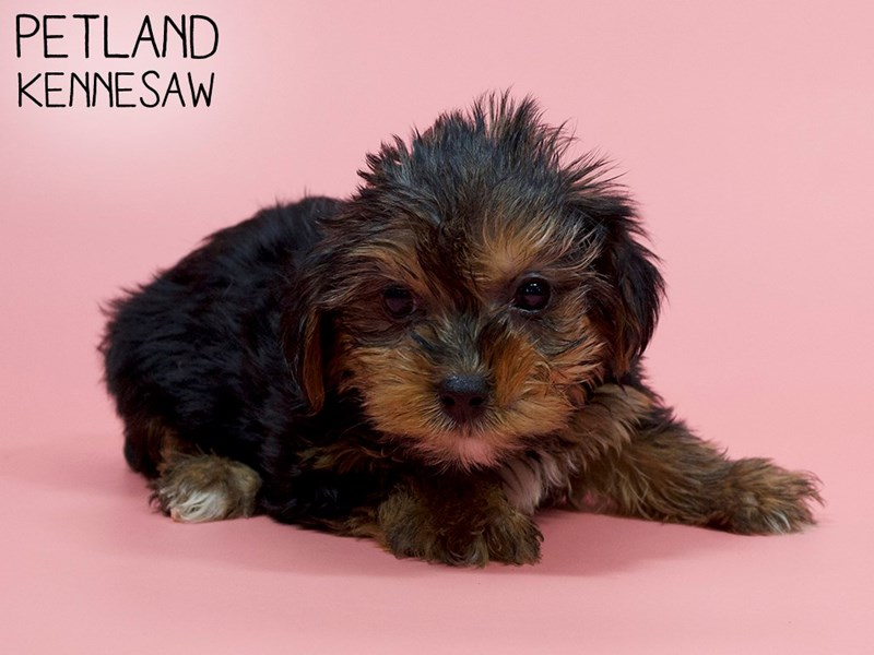 Yorkshire Terrier-Female-Black / Tan-2886030-Petland Kennesaw