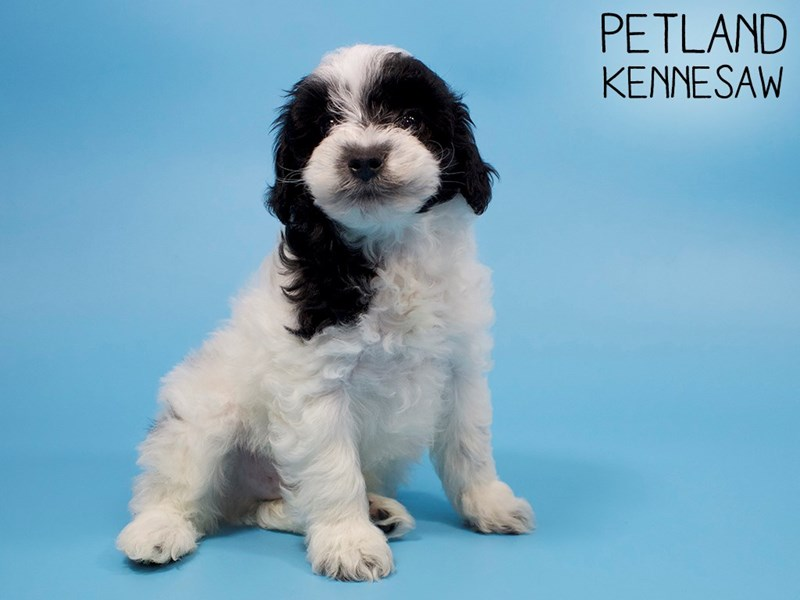 Schnoodle-Male-BLK WHITE-2882678-Petland Kennesaw