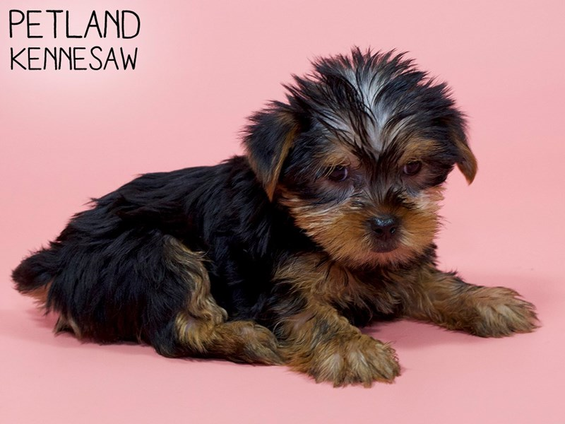 Yorkshire Terrier-Female-Black / Tan-2900087-Petland Kennesaw