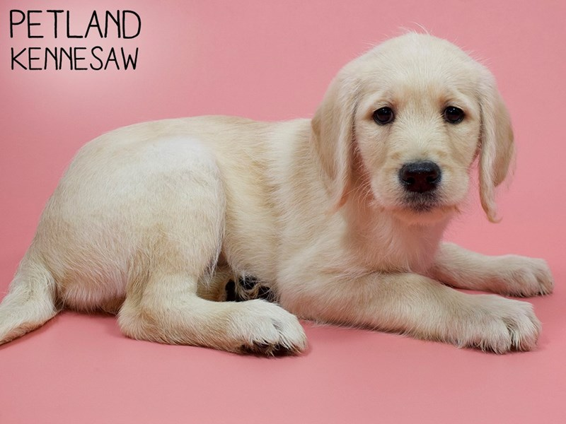 Labradoodle-Female-Chocolate-2903308-Petland Kennesaw