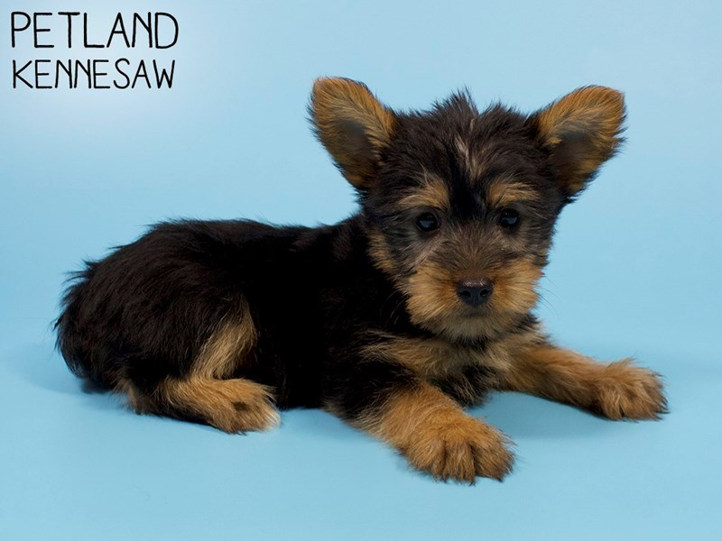 Silky Terrier-DOG-Male-Black / Tan-2907242-Petland Kennesaw