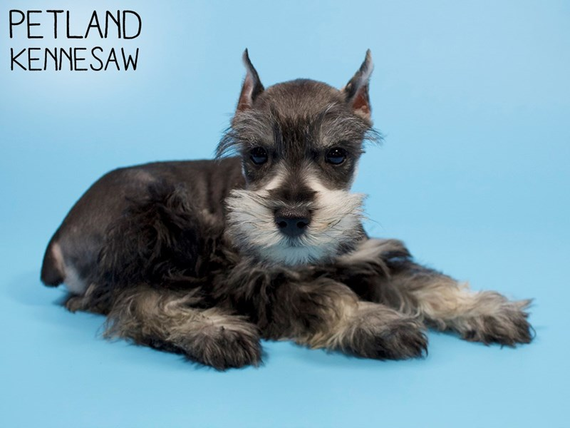 Miniature Schnauzer-Male-SALT PEPPER-2903266-Petland Kennesaw