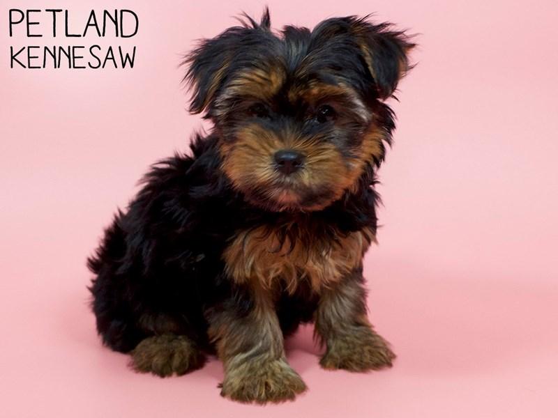 Yorkshire Terrier-Female-Black / Tan-2914414-Petland Kennesaw