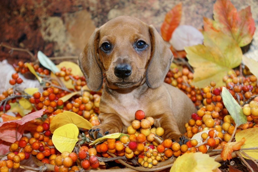 Thanksgiving, Dogs Deserve a Thanksgiving Meal Too! Simple (and Safe!) Thanksgiving Recipes Your Pet Will Love