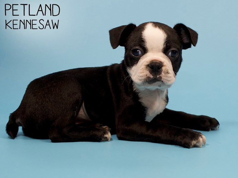 Boston Terrier-Male-Black / White-2886120-Petland Kennesaw