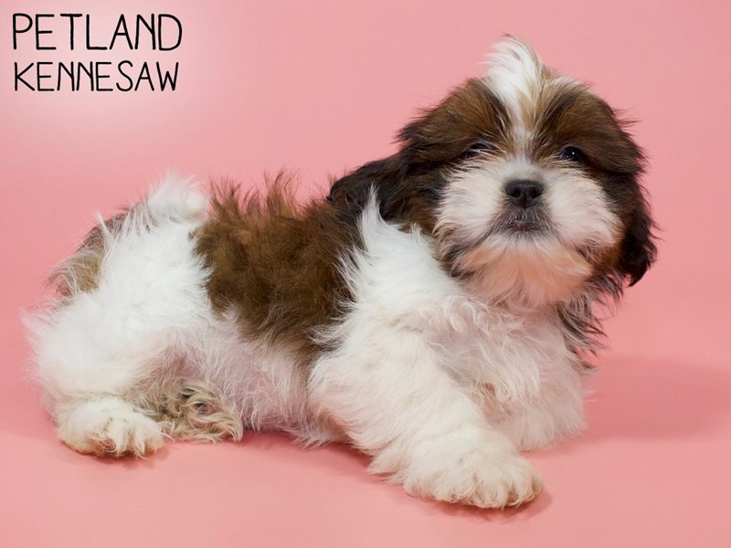 Shih Tzu-Female-brown white-2882758-Petland Kennesaw
