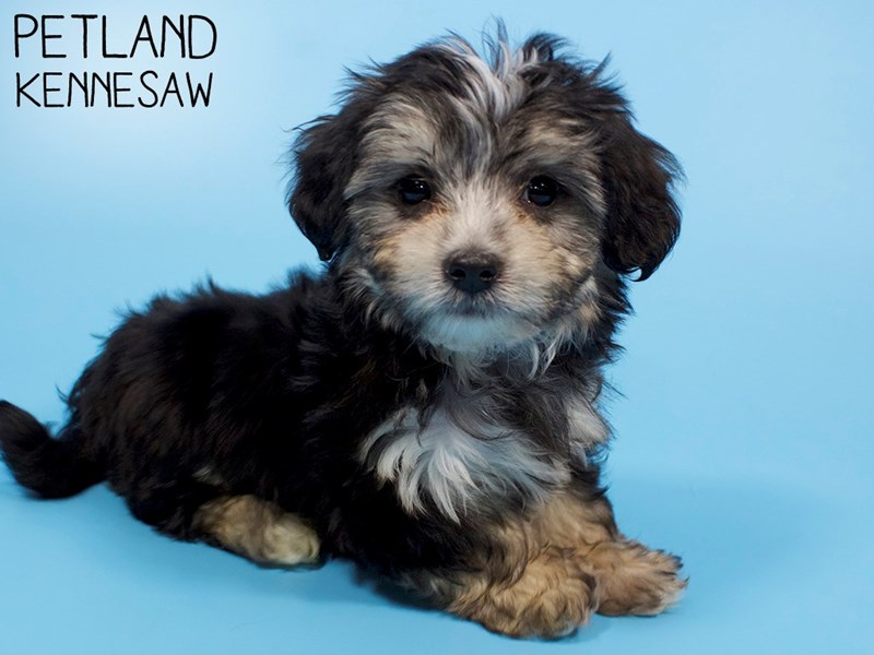 Morkie-Male-Black / Tan-2914418-Petland Kennesaw