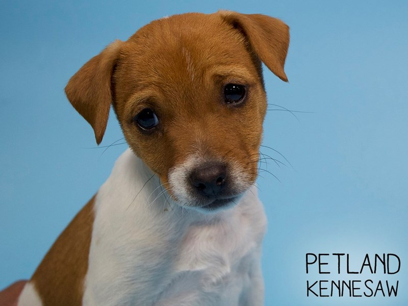 Jack Russell Terrier-Male-White-2907252-Petland Kennesaw