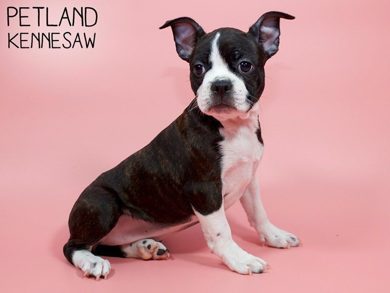 Boston Terrier-Female-blk white-2896294-Petland Kennesaw