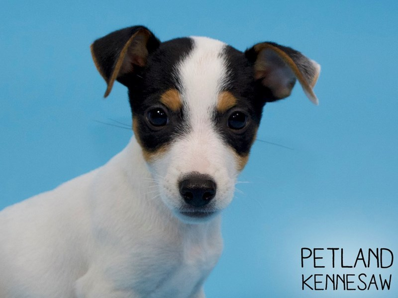 Jack Russell Terrier-Male-White-2879811-Petland Kennesaw