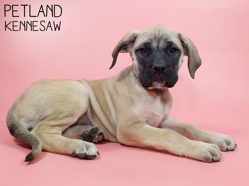 English Mastiff-Female-Fawn-2921555-Petland Kennesaw