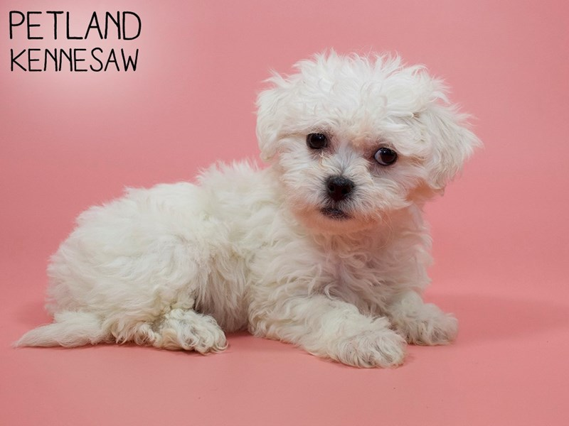 Teddy Bear-DOG-Female-White-2928591-Petland Kennesaw