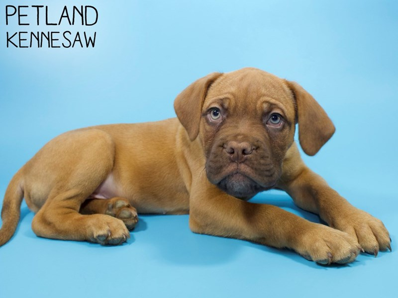 Dogue De Bordeaux-Male-Red-2900093-Petland Kennesaw