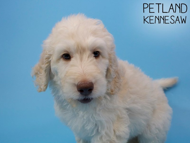 Goldendoodle 2nd Gen-Male-Golden-2937307-Petland Kennesaw