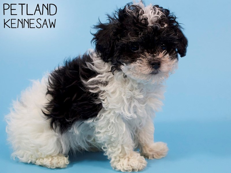 Miniature Poodle-Male-Black-2937310-Petland Kennesaw