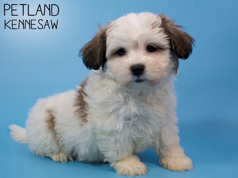 Teddy Bear-Male-Brown / White-2937314-Petland Kennesaw