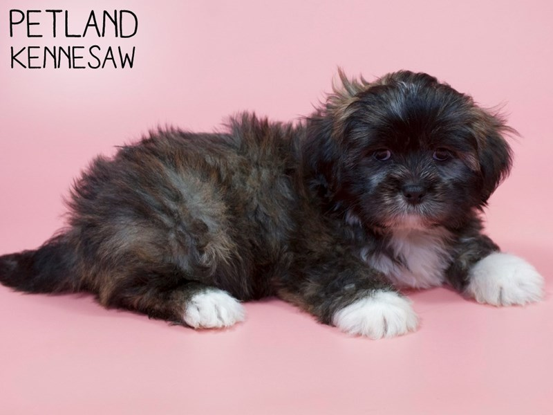 Lhasa Apso-Female-Grizzle-2900091-Petland Kennesaw
