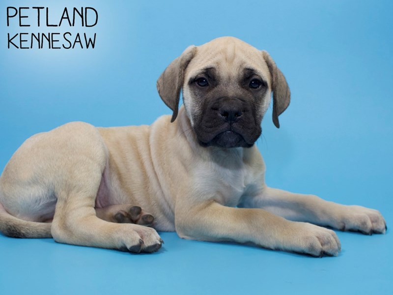 English Mastiff-Male-Fawn-2921554-Petland Kennesaw