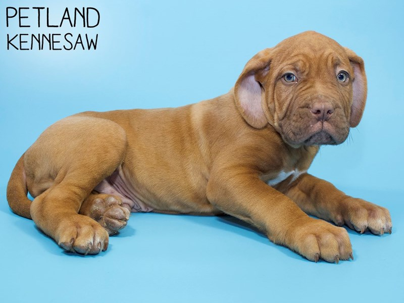 Dogue De Bordeaux-Male-Red-2921548-Petland Kennesaw