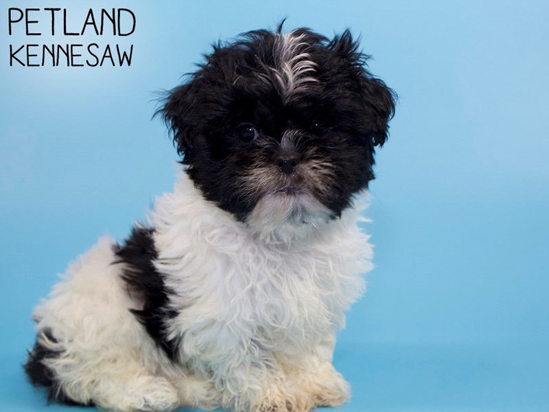 Shih Tzu-Male-Black / White-2951401-Petland Kennesaw